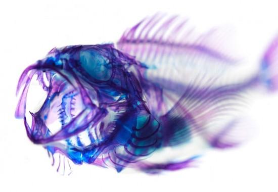 transparent-fish2-550x380