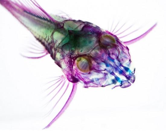 transparent-fish4-550x435