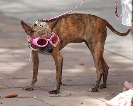 dog_hat_glasses_15