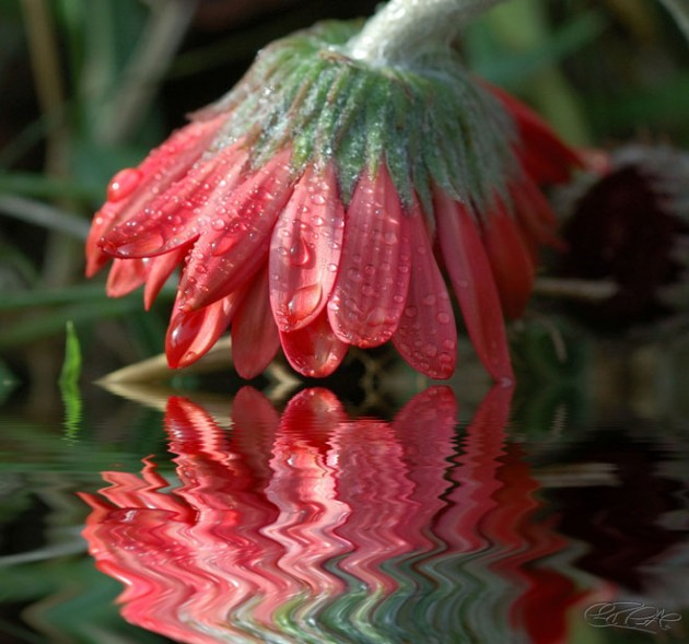 15-flower-water-reflection-photography