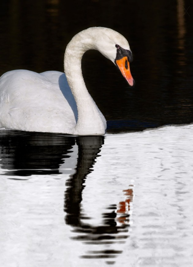 3-swan-reflection-photography-by-selimovic