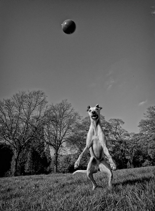 Flesh-Eating-Zombie-Whippet-by-Hot-Dog-Photography-530x720
