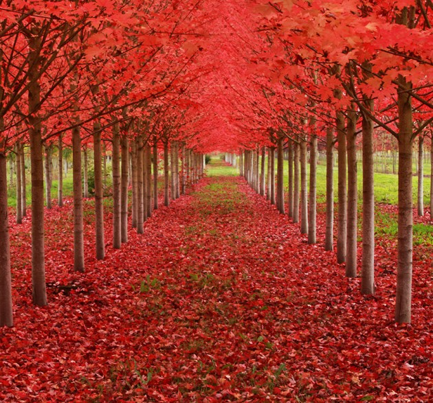 Maple Tunnel in St. Louis, Oregon, U.S.A.