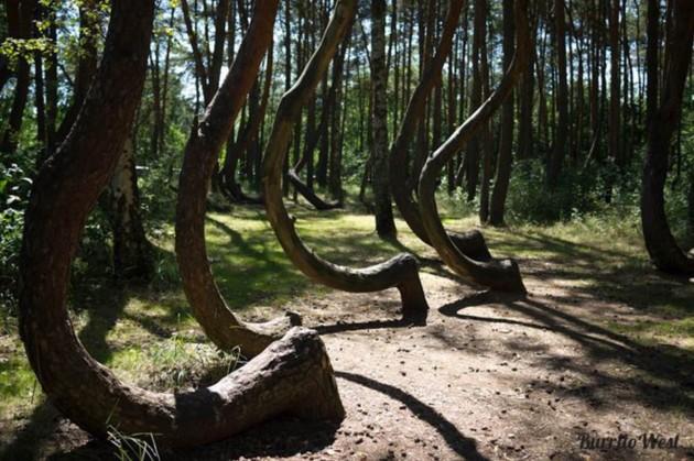 A Floresta de árvores tortas da Polônia