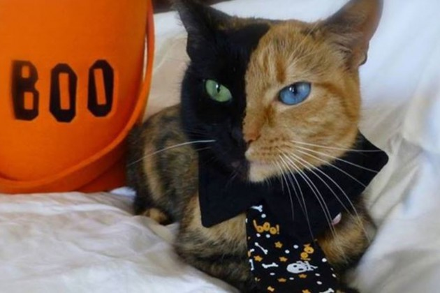 Chimera Cat - O Gato vive na Carolina do norte e foi adotado em 2009