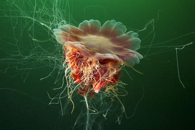 cyanea-capillata-white-sea-1