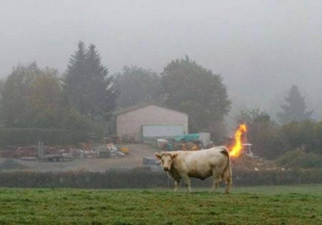 Vaca se assando por dentro...