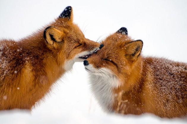 wild-foxes-ivan-kislov-1