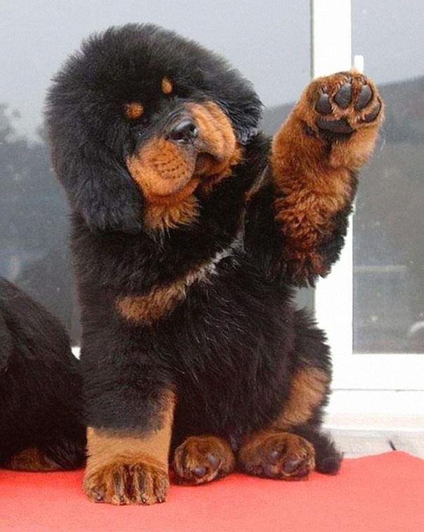 filhotes-parecem-com-ursos-de-pelúcia-9