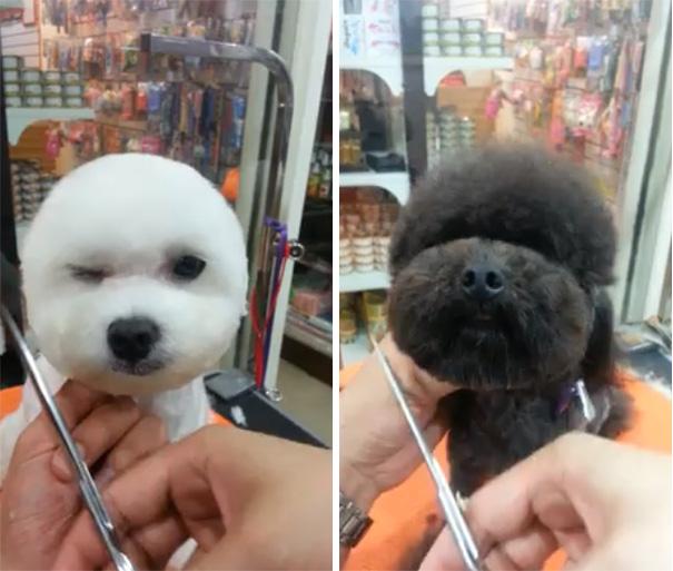 square-round-dog-haircut-taiwan-10