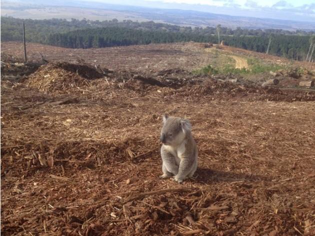 Coala que perdeu sua casa na desmatamento