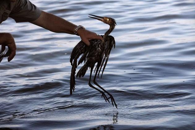 Pássaro no vazamento de óleo