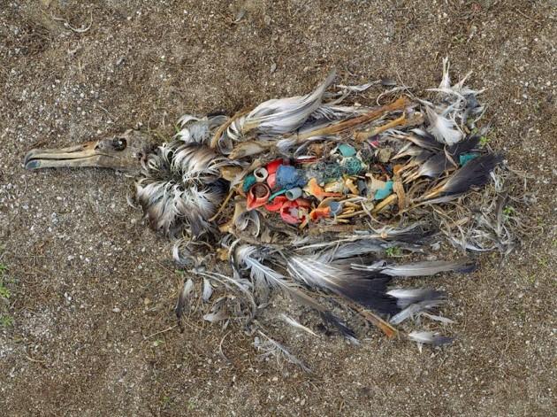 Albatroz morto pela excessiva ingestão de plástico