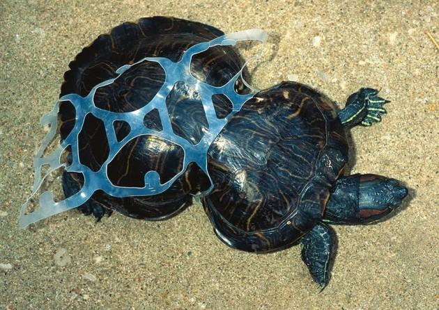Tartaruga presa no plástico