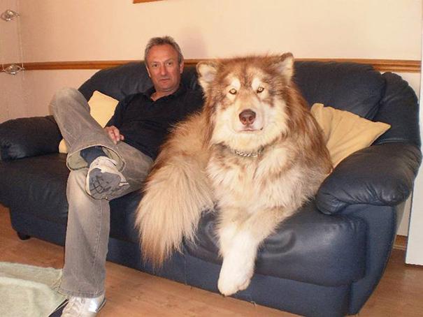 big-dog-funny-animal-photos-211__605