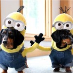 minion-weiner-dog-crusoe-dachshund-fb
