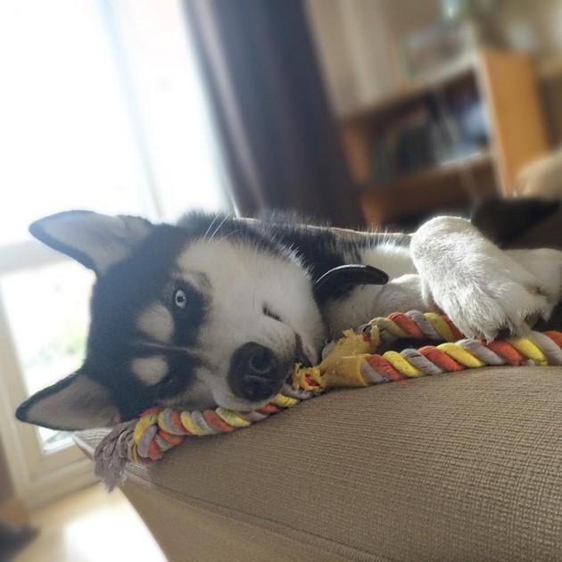 dog-tricked-facial-expression-anuko-husky-6