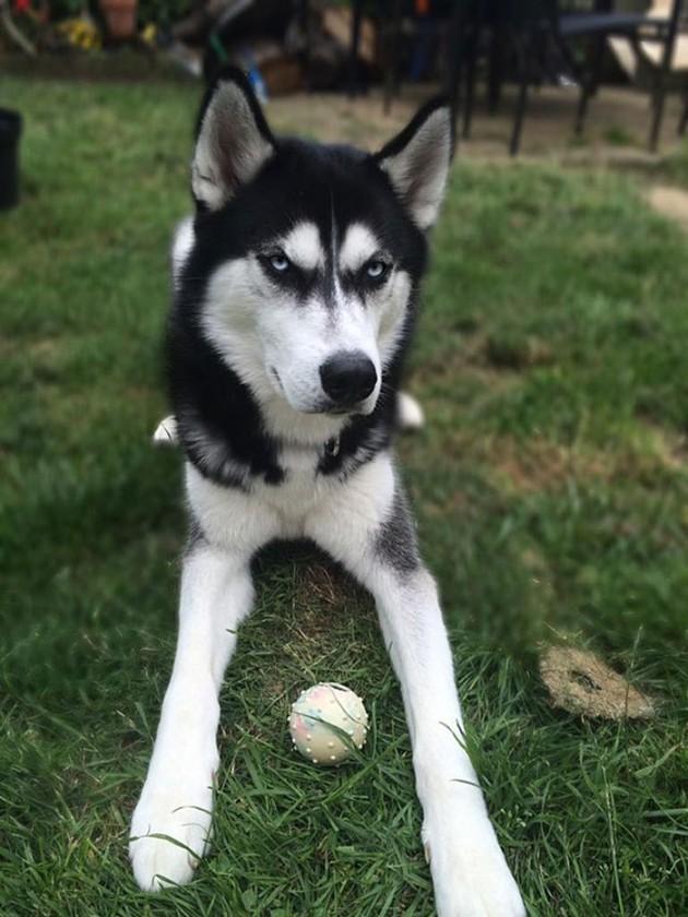 dog-tricked-facial-expression-anuko-husky-8
