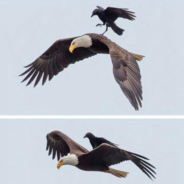 Um corvo pegou carona nas costas de uma águia e o fotógrafo Phoo Chan conseguiu captar o momento.
