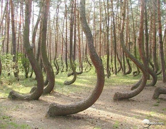 Floresta torta, Polônia. As árvores ficam assim decorrentes aos fortes ventos do local.