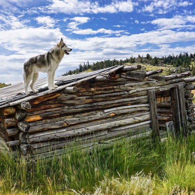 Loki-the-Wolfdog18__880