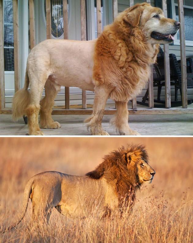 dog-looks-like-lion