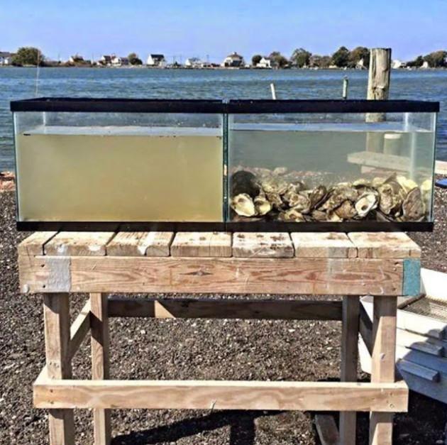 #10 - A limpeza que as ostras fazem no oceano.