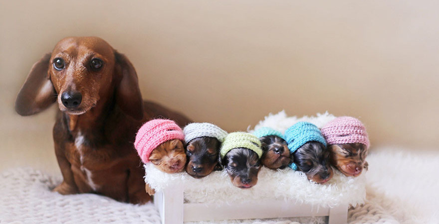 sausage-dog-maternity-photoshoot-puppies-2