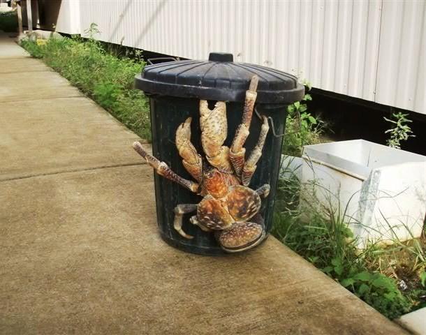 Caranguejo-do-coco. Esse tipo de caranguejo pode chegar a 1 metro de comprimento oO