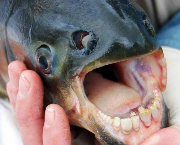 Peixe-pacu e seus dentes super semelhantes ao dos seres humanos