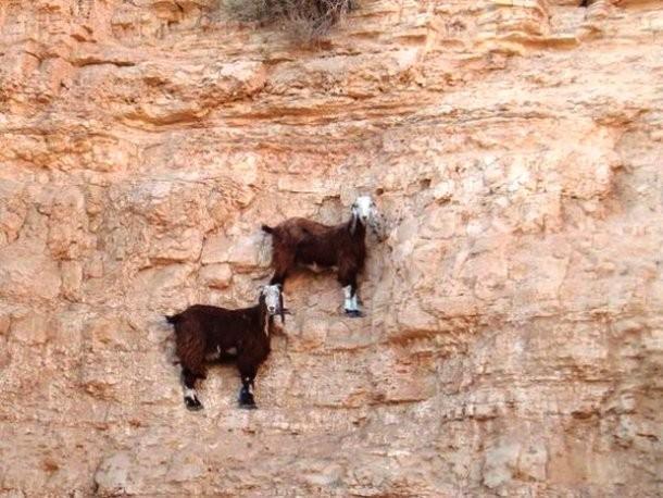 Cabras escaladoras