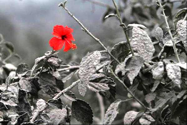 Flor vermelha que nasceu após a erupção do vulcão Monte Sinabung's