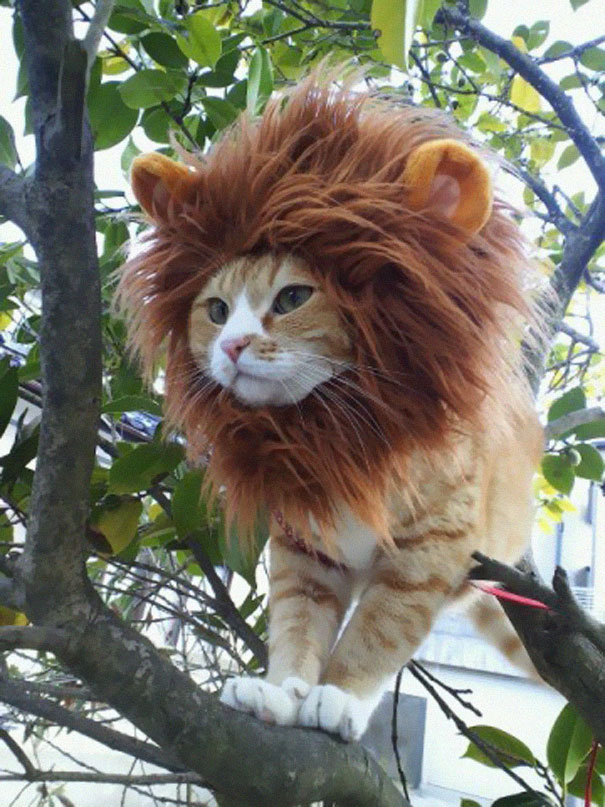 halloween-cat-costumes-18-57f75fdd69a76__605
