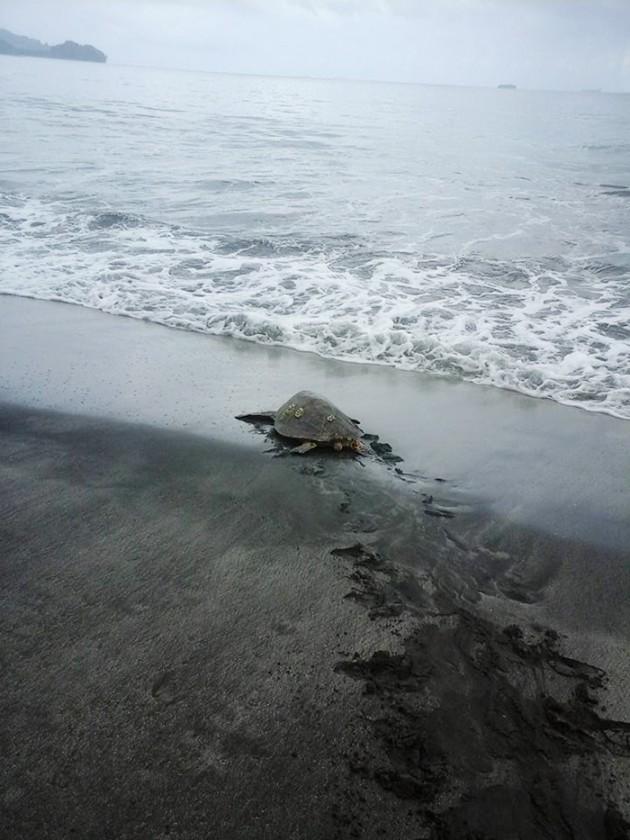 man-saves-sea-turtles-arron-culling-papua-new-guinea-7