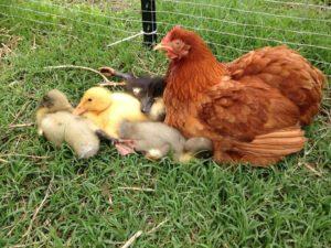 15 Provas que as galinhas podem ser mães de todos os seres vivos do planeta.