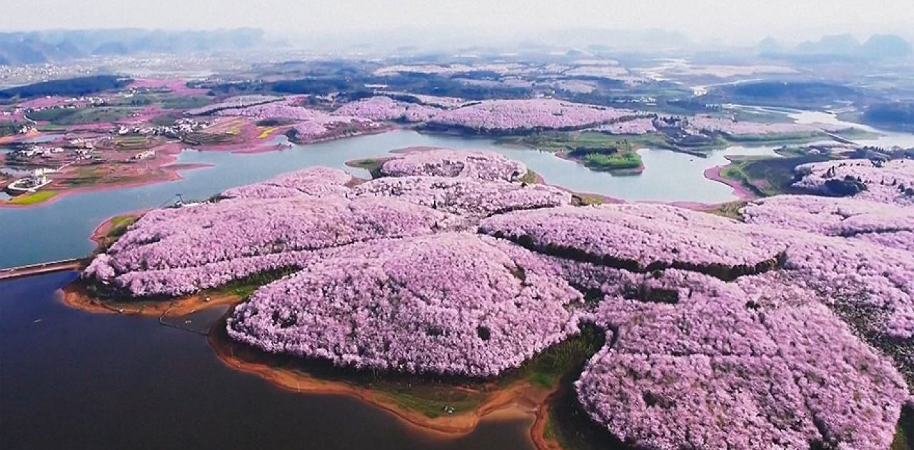 cerejeiras da China 04