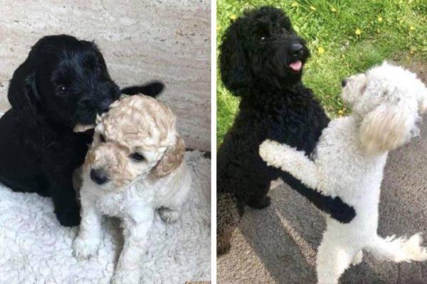 cães abraçados capa