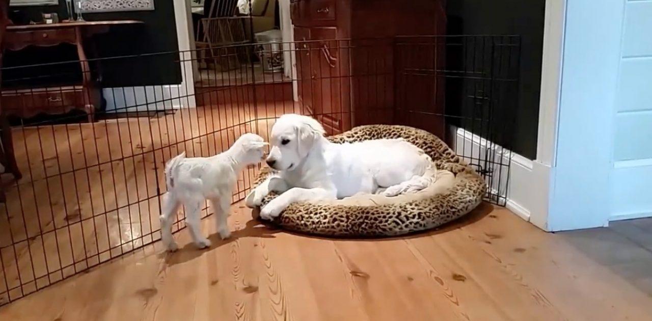 cão e cabra capa