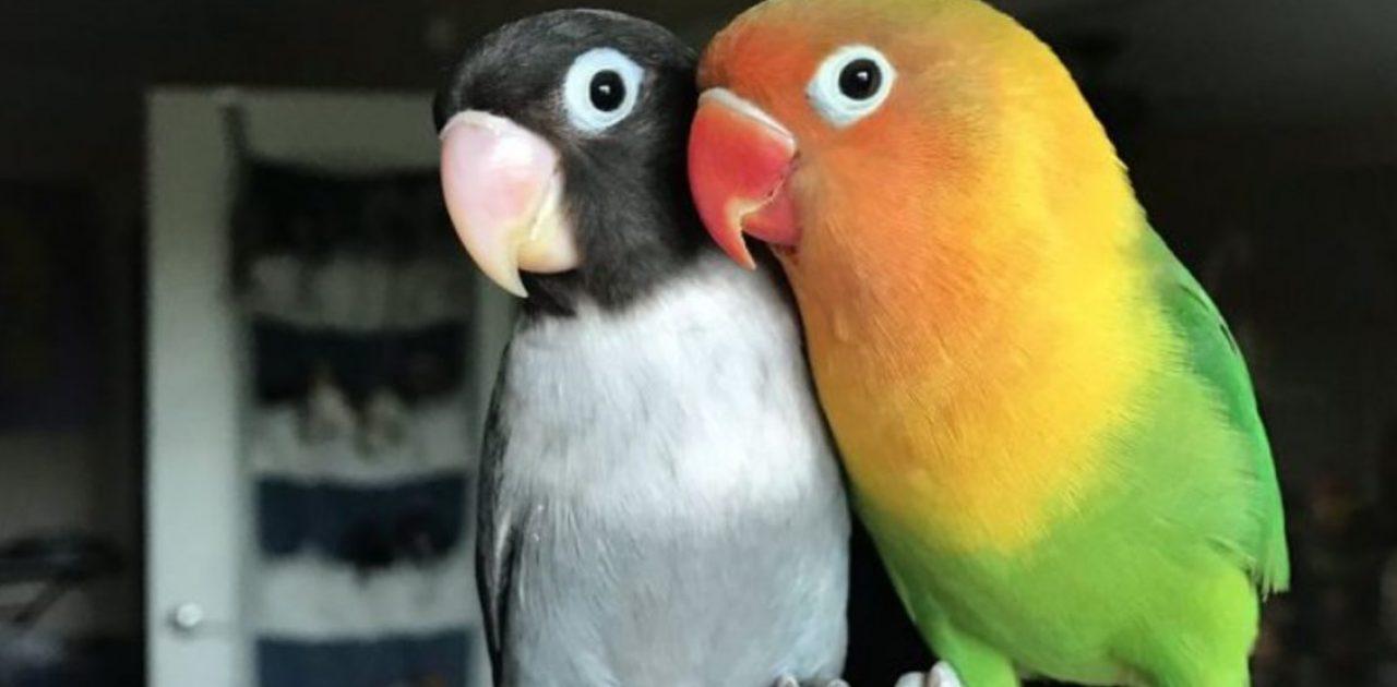 casal de papagaios capa