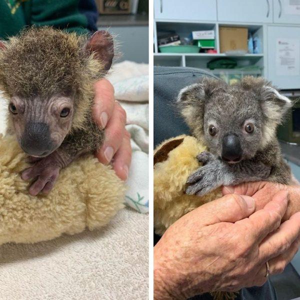 coala salvo capa