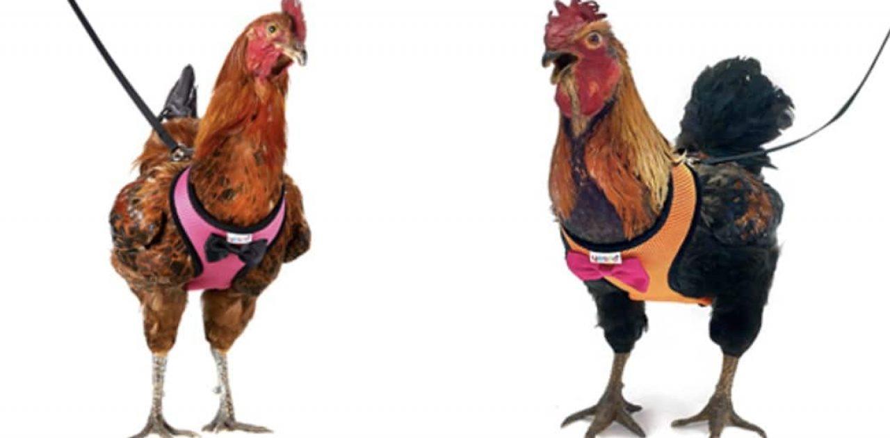 coleira de galinha capa
