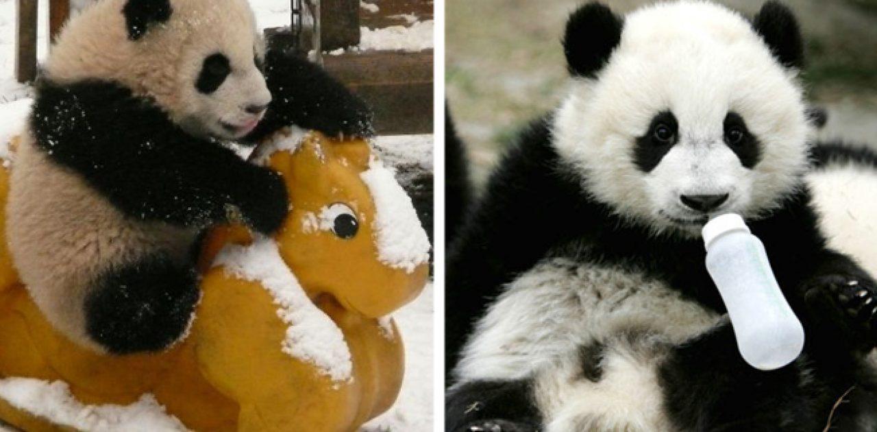 creche de pandas capa