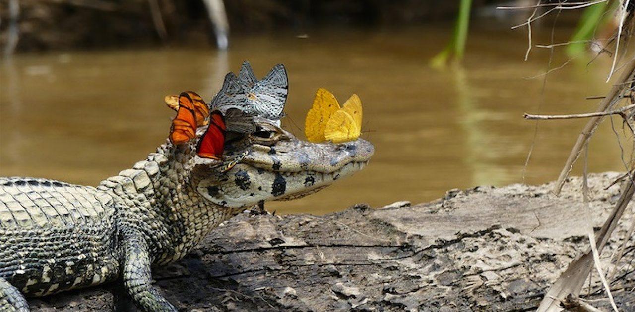 crocodilo feliz capa