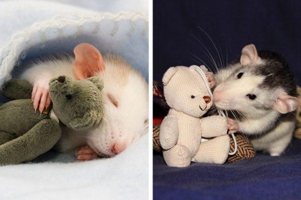 ensaio com ratos capa