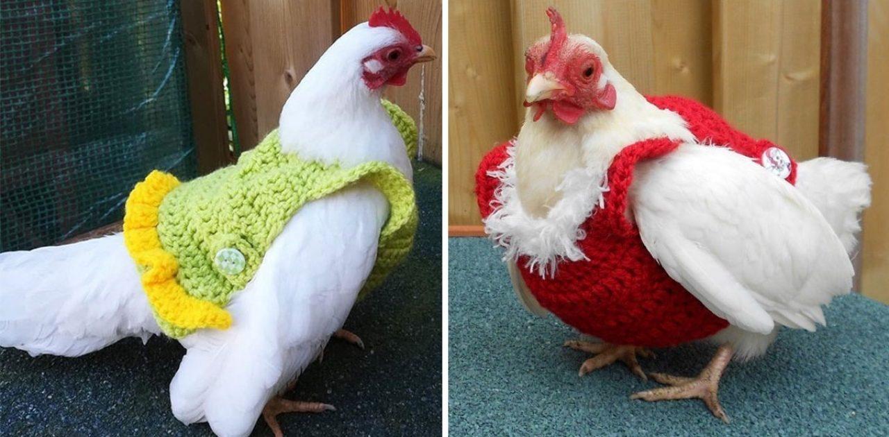 galinhas com suéter capa