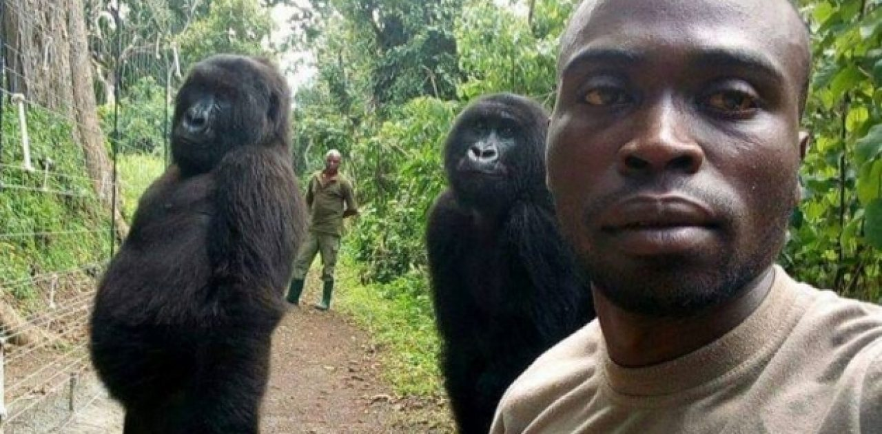 gorilas do Congo 01