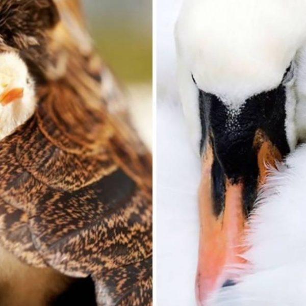 mamães aves capa