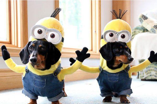 minion-weiner-dog-crusoe-dachshund-fb