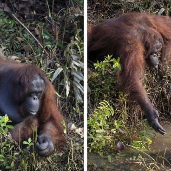 orangotango capa