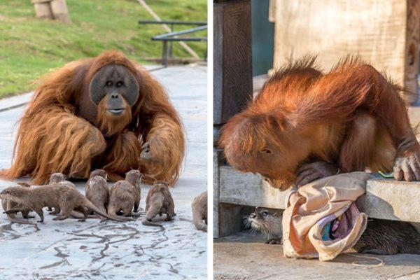 orangotango e lontra capa